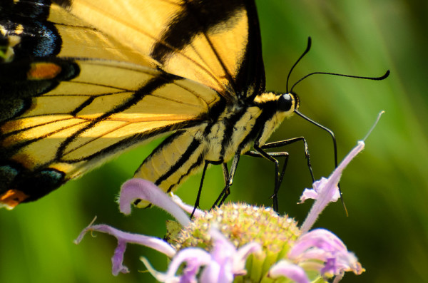 Eastern Tiger Swallowtail on Wild Bergamont