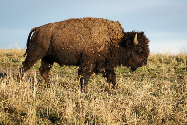 American Bison at Nachusa Grasslands